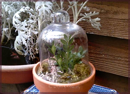 Boxwood cutting under cloche glass bell