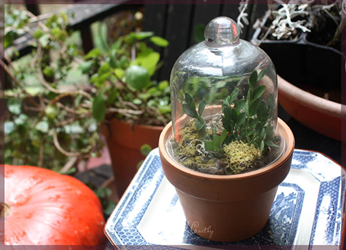 Boxwood propagation by Stephie McCarthy