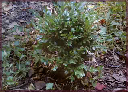 Dwarf boxwood propagation