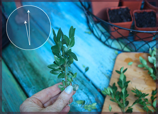 How to make a new boxwood plant from cuttings