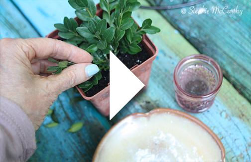 Boxwood Propagation Video by Stephie McCarthy
